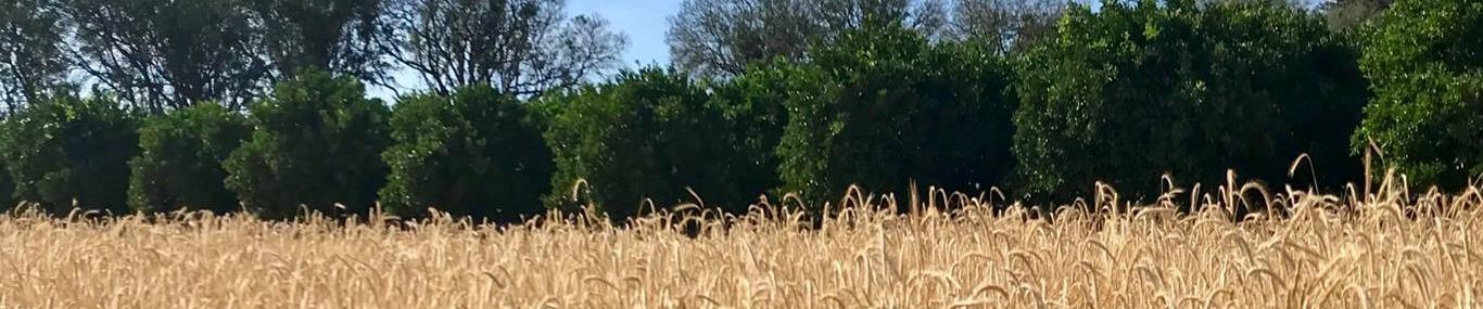 banner of wheat field- Monks